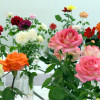 SCV Rose Society: 'Wild West Roses' Show at Hart Park