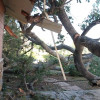 Downed Oak Tree Wreaks Havoc for Sand Canyon Resident