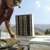 Parasitic Mites, Lack of Land Could be to Blame for Decline in Honey Bees