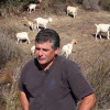 Caltrans News Flash: Using Goats to Control Vegetation