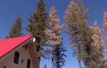 California Bark Beetle Epidemic Only Getting Worse