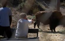 Hart Park Bison Take Their Medicine in an Unusual Way