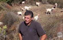 Caltrans News Flash: Using Goats to Control Vegetation