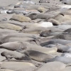 Rolling With The Tour: Elephant Seals