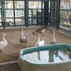 W.S. Hart Park Education Series   Geese Pen