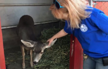 W.S. Hart Park Education Series   Deer Abby Pen