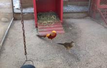 W.S. Hart Park Education Series | Golden Pheasant