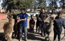 W.S. Hart Park Education Series | Alpaca Walk