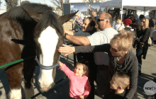 Carousel Ranch Introduces New Clydesdale to Therapy Team